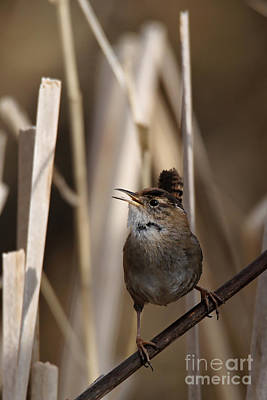 Photograph - Wren Song by Sue Harper