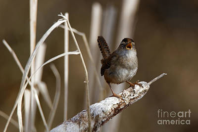 Photograph - Wren - The Little Singer by Sue Harper