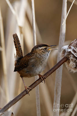 Photograph - Wren The Song Bird by Sue Harper