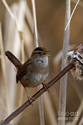 Photograph - Wren Tuning Up by Sue Harper