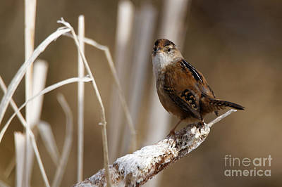 Photograph - Wren - You See Me by Sue Harper