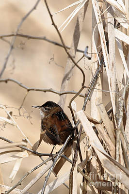 Photograph - Wren's World by Sue Harper