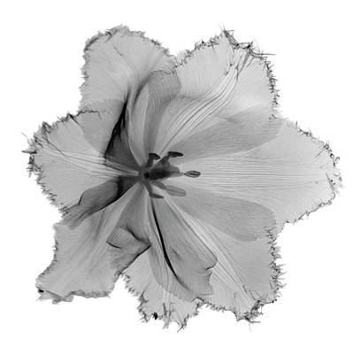 Flower Photograph - X-ray Image Of Tulip Flower Head On by Nicholas Veasey