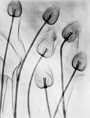 Photograph - X-ray Tulips On White by Edward Charles Le Grice