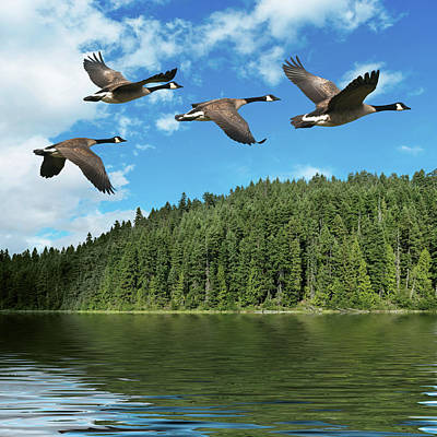 Photograph - Xxxl Migrating Canada Geese by Sharply done