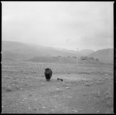 Yak Wall Art - Photograph - Yak In Grassland by Oliver Rockwell