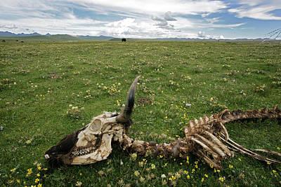 Yak Wall Art - Photograph - Yak Skeleton, China by James Gritz