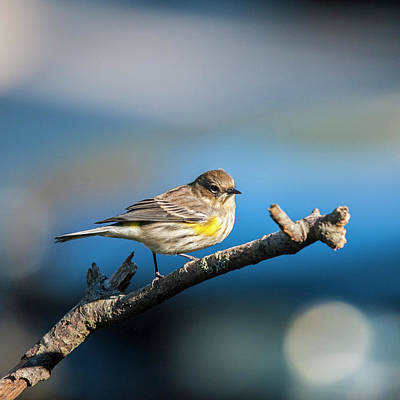 Photograph - Yelllow Rumped Warbler by Cathy Kovarik
