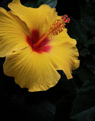 Photograph - Yellow And Red Hibiscus by Karen and Phil Rispin