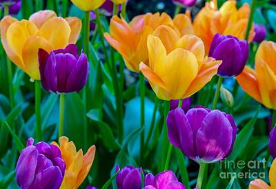 Photograph - Yellow And Violet Tulips by Susan Rydberg
