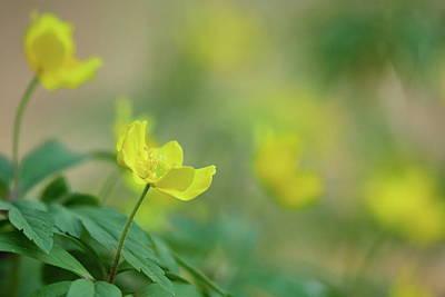 Jouko Lehto Royalty-Free and Rights-Managed Images - Yellow anemone and friends by Jouko Lehto