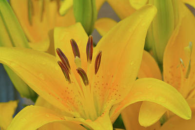 Photograph - Yellow Asiatic Lily by Storm Smith