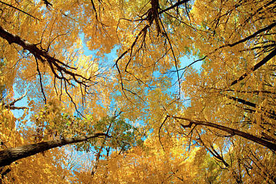 Photograph - Yellow Autumn Canopy by Todd Klassy
