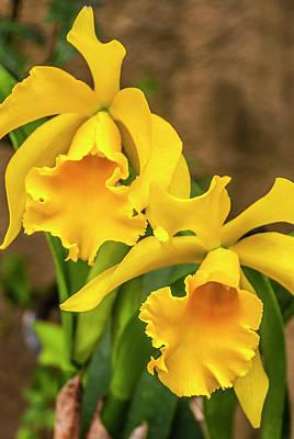 Photograph - Yellow Beauties by Paul Croll