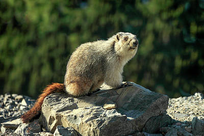 Photograph - Yellow-bellied Marmot by Todd Klassy