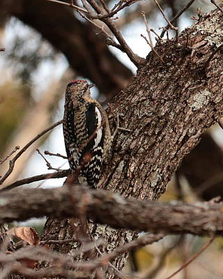 Photograph - Yellow-bellied Sapsucker 4545 by John Moyer