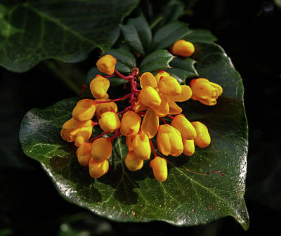 Photograph - Yellow Berberis Flowers On Green Ivy Leaf by Richard Brookes