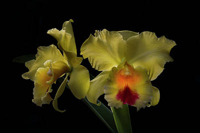 Photograph - Yellow Blooms In The Light by Debra and Dave Vanderlaan