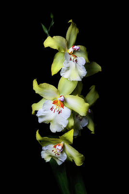 Photograph - Yellow Cymbidium by Cyndy Doty