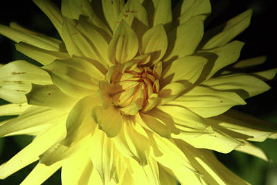 Photograph - Yellow Dahlia In Greenwich Park by Aidan Moran