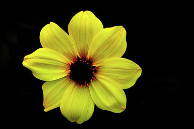 Photograph - Yellow Dahlia by Kevin Schwalbe