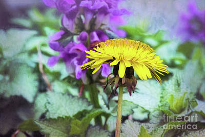 Photograph - Yellow Dandelion by Sharon McConnell