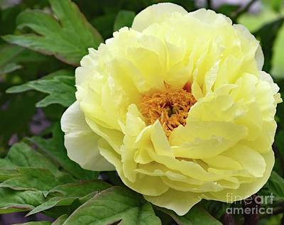 The Who - Yellow Delight Itoh Bartzella Peony by Cindy Treger