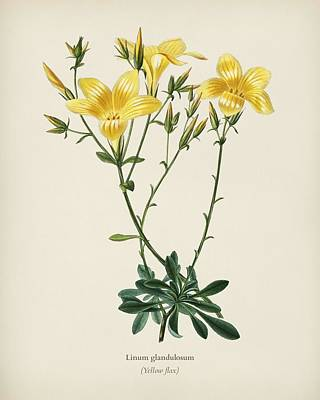 Painting - Yellow Flax  Linum Glandulosum  Illustrated By Charles Dessalines D Orbigny  1806 1876  2 by Celestial Images