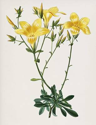 Painting - Yellow Flax  Linum Glandulosum  Illustrated By Descharles Salines D  Orbigny  1806 1876   by Celestial Images