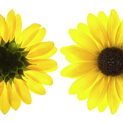 Photograph - Yellow Flowers On White Background by Alan Bailey
