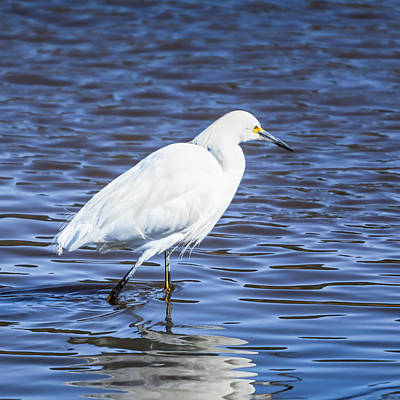 Photograph - Snowy Egret - Malibu Lagoon State Beach - Square by Gene Parks