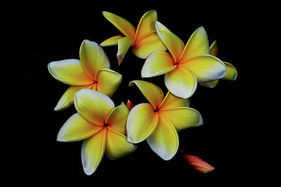 Photograph - Yellow Frangipani by Debra and Dave Vanderlaan