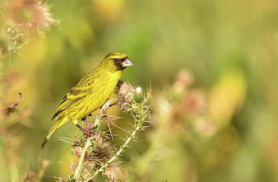 Photograph - Yellow Fronted Canary in Bale Mountains, Ethiopia by Jwngshar Narzary