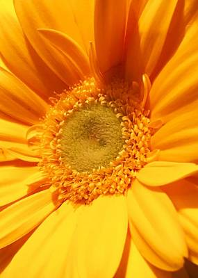 Photograph - Yellow Gerber Daisy by Nathan Little