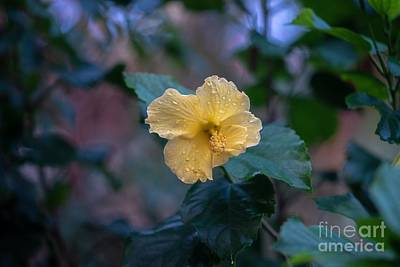Photograph - Yellow Hibiscus by Susan Rydberg
