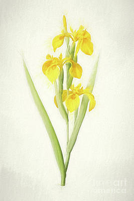 Nikki Vig Digital Art - Yellow Iris Botanical Chalk Art by Nikki Vig