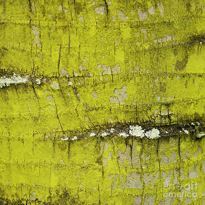 Photograph - Yellow Lichen On Palm Trunk - Organic Patterns And Textures by Charmian Vistaunet