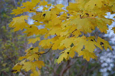 Farmhouse Royalty Free Images - Yellow Maple Leaves Royalty-Free Image by Ee Photography