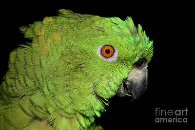 Art Print featuring the photograph Yellow-naped Amazon by Debbie Stahre