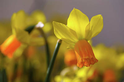 Photograph - Yellow Narcissus Jetfire 1 by Jenny Rainbow