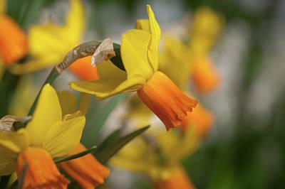 Photograph - Yellow Narcissus Jetfire 3 by Jenny Rainbow