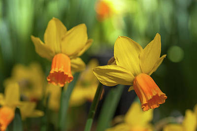 Photograph - Yellow Narcissus Jetfire 4 by Jenny Rainbow
