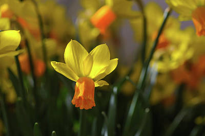 Photograph - Yellow Narcissus Jetfire by Jenny Rainbow