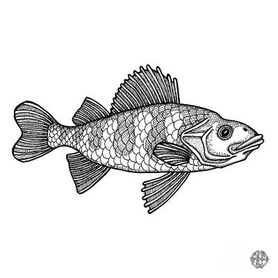 Drawing - Yellow Perch by Amy E Fraser