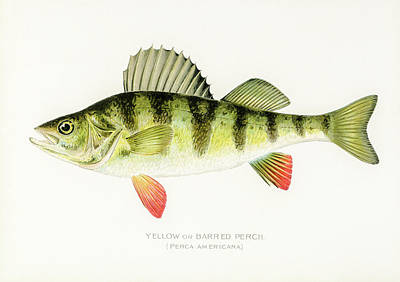 Animals Drawings - Yellow Perch by David Letts