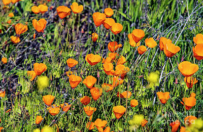 Photograph - Yellow Poppies Of California by Mae Wertz