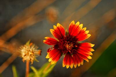 Roaring Red - Yellow Red Flower by Allen Williamson