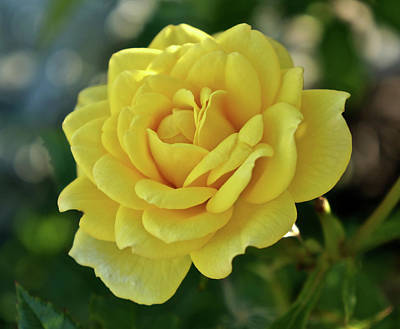 Photograph - Yellow Rose of Texas by Kathy Ozzard Chism