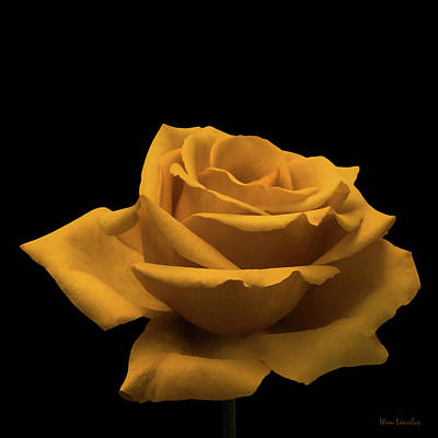 Photograph - Yellow Rose On Black by Wim Lanclus
