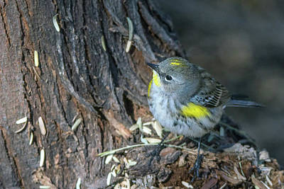 Photograph - Yellow-rumped Warbler 8805-122818-1 by Tam Ryan